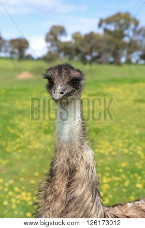 Young emu in Australian bushland in rural Central West NSW.