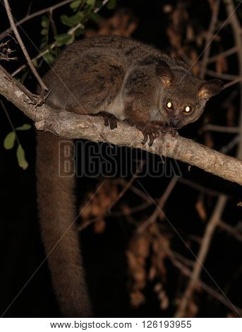 Galagos, also known as bushbabies, bush babies, or nagapies (meaning