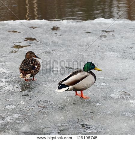 Duck and drake of mallard on the thawing river ice in the spring. They swam and drops of water still hang on their feathers.