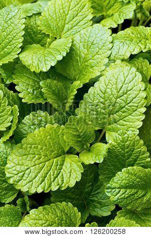 Fresh leaves of lemon balm (balm common balm or balm mint)