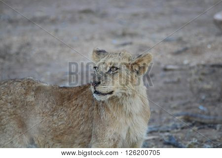 Young lion stands against dry veld in the Kruger National Park, South Africa