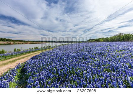 Texas Bluebonnet Filed  In Muleshoe Bend Recreation Area Near Austin, Tx
