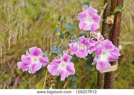 Ipomoea nil blossoms climbing on wooden stakes. Narrow depth of field