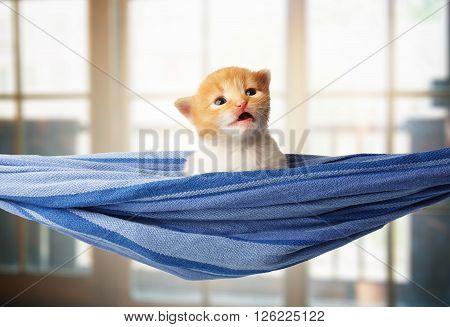 Red kitten in a hammock. Surprised Cute orange kitten in a blue hammock having rest, relax at windows background. Adorable sad pet. Small heartwarming kitten. Little cat. Animal isolated. High key