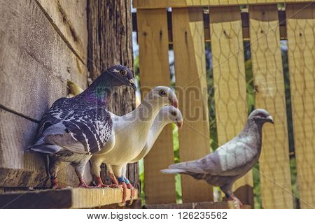 Homing Pigeons In Loft