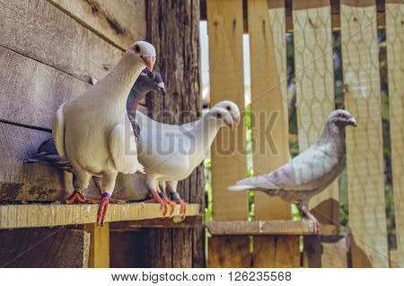 Homing Pigeons In Wooden Coop