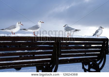 Four seagulls waiting on a snowy bench for food poster