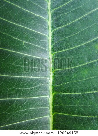 the green leaf show as the texture