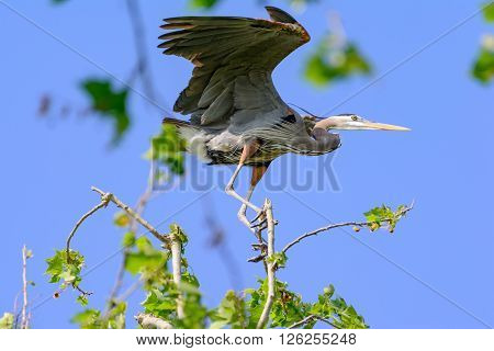 Great Blue Heron trying to keep its balance while perched in a sycamore tree on a very windy day.