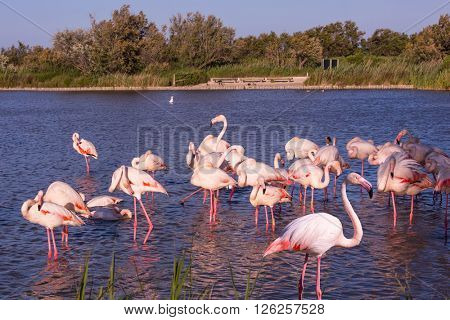 Evening in the National Park of Camargue,  France. Large flock of pink flamingos. Exotic birds roost at sunset