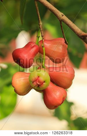 The ripe rose apple on plant in farm