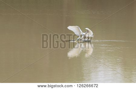 White Heron or Bittern Egret bird using a mouth to catch small fish in the pond