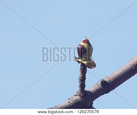Horse-chestnut aesculus hippocastanum bud on branch with blue background macro selective focus shallow DOF