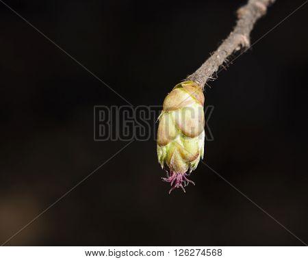 Hazelnut female bud on branch macro selective focus shallow DOF poster
