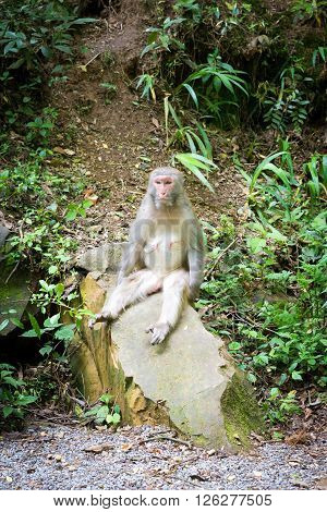 funny monkey sitting on a rock like a man in a wild forest