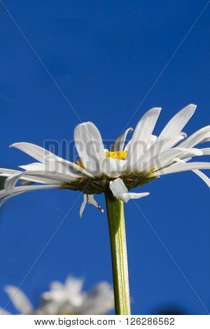 ox eyed daisy against a blue sky