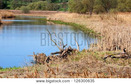 narrow river with marshy coast with reed and old wooden snags