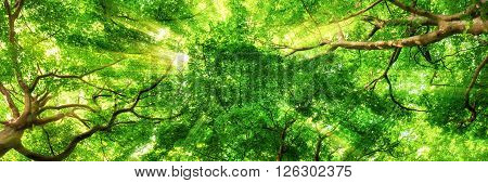 Sunrays shining through green leaves of high treetops in a beech forest panorama format
