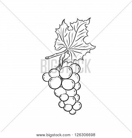 Grapes. Vector hand drawn illustration of grapes on the branch on white background - stock vector