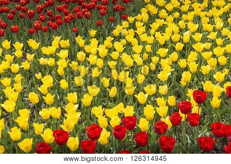 red and yellow tulips on spring meadow