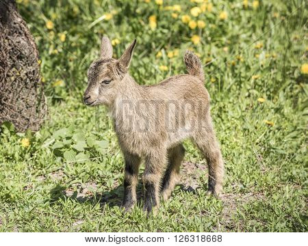 Little goatling on the spring meadow . Apri l, 2016