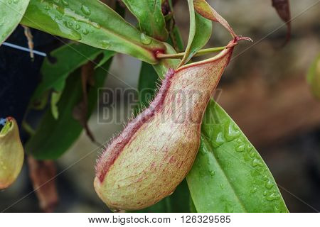 Insectivorous plants Nepenthes Ampullaria close up with leaves