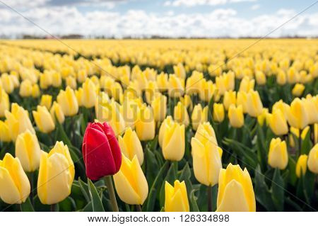 One pigheaded red tulip blooming on the edge of a Dutch field with only yellow tulip flowers. It is a sunny day at the beginning of the spring season.