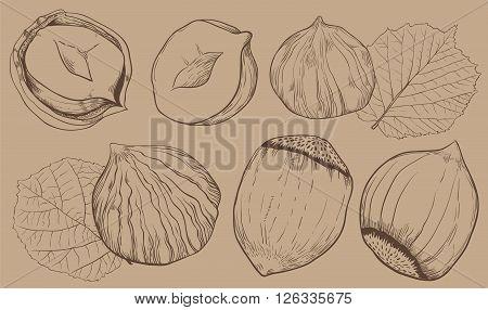 Hazelnut on light brown background. Hazelnut seeds. Engraved raster illustration of leaves and nuts of hazelnut. Isolated hazelnut.