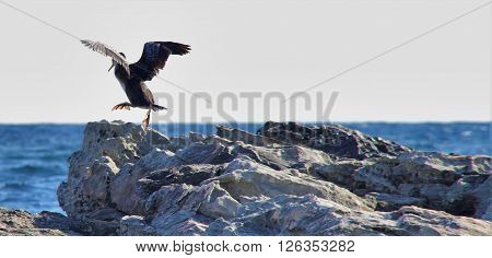 large black bird takes off from a rock by the sea