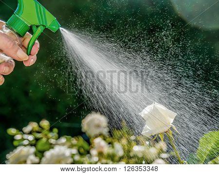 roses are sprayed