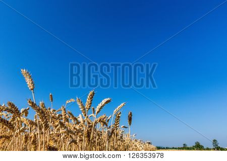 cornfield with wheat at harvest