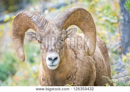 Portrait of a Rocky Mountain Bighorn with large rams. Photo is a close up of the bighorn looking into the lens.