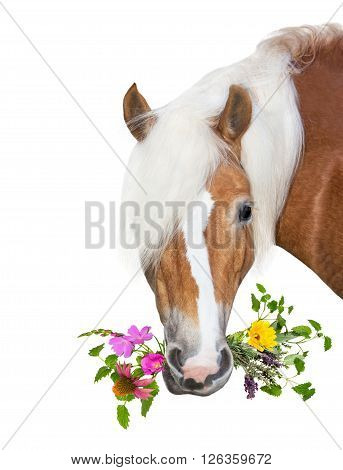 Beautiful Haflinger Horse With Natural Herbs In Her Mouth