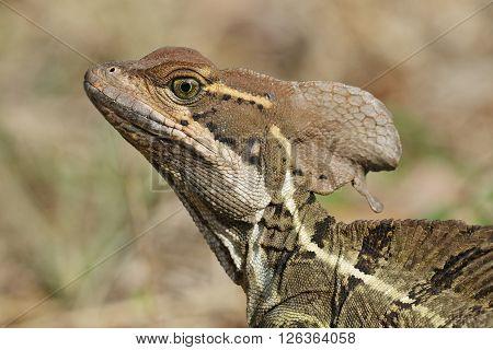 Closeup Of A Jesus Christ Lizard - Panama