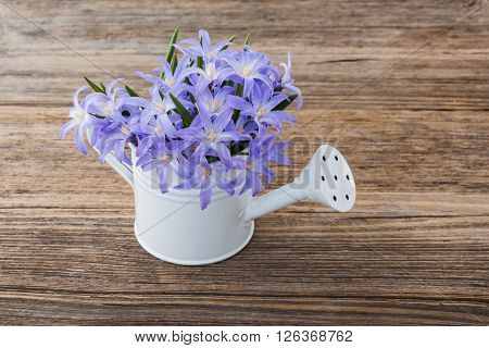 Blue Spring Flowers In Small Watering Can On Wooden Background