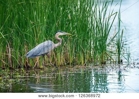 Great Blue Heron (Ardea herodias) in the reeds on a lake