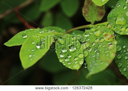 Closeup of dewdrops on leaves in a forest.