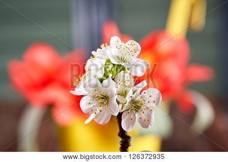 White Apple Blossom In Front Of Tulips