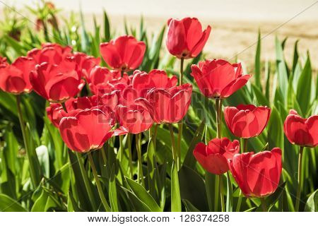 Red Tulips In The Garden Soft Focus