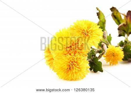 Bouquet Of Chrysanthemum Isolated On A White