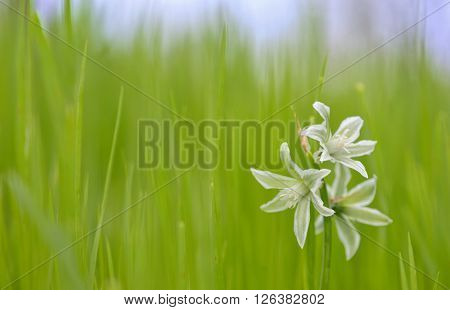 Ornithogalum nutans called drooping star of Bethlehem