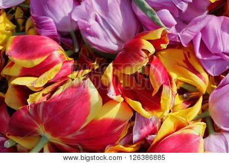 background cut buds wilted tulips shot from above