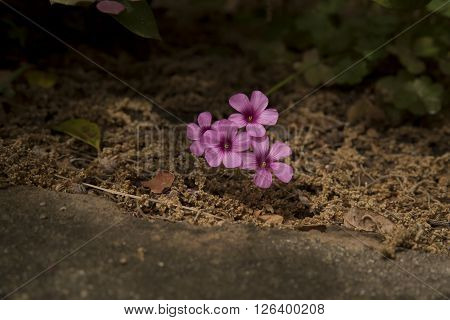 Pink Oxalis in a forgotten flower bed