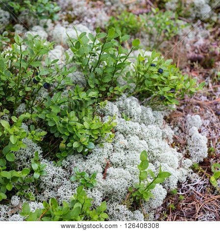 white moss close-up, in the forest, Russia