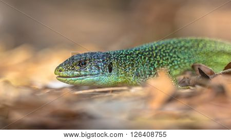 Head Of Eastern European Green Lizard