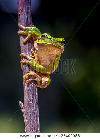 European Tree Frog Dark Image