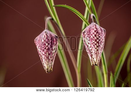 Snake's head fritillary on colored background. Chess flower.
