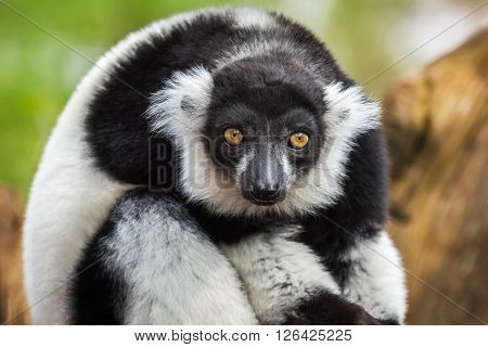 Portrait of adult male black-and-white ruffed lemur
