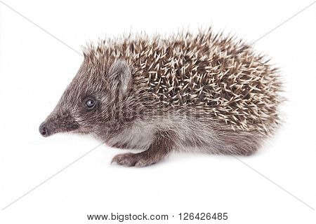 young hedgehog with natural shadows