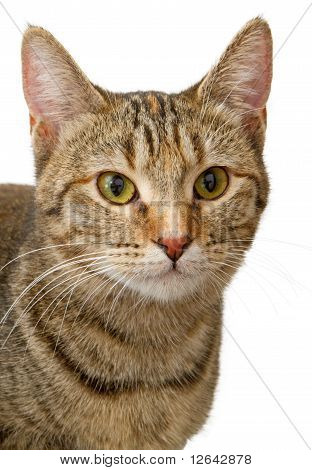 Closeup Of A Young Tabby Cat Isolated On White